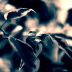 Ficus split-toned